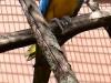 Синежёлтый ара