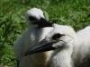Белый аист (молодняк)
