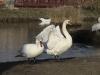 Лебедь-шипун