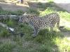 Персидский леопард