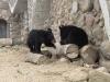 Уссурийский белогрудый медведь