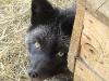 Серебристо-чёрная лисица