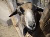 Камерунская овца