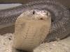 Моноклеивая кобра