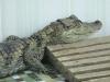 Крокодиловый кайман
