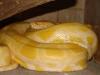 Тигровый питон (альбинос)