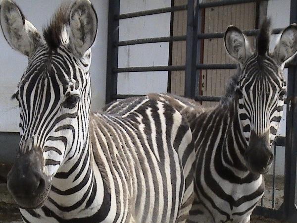 Зебры в подарок