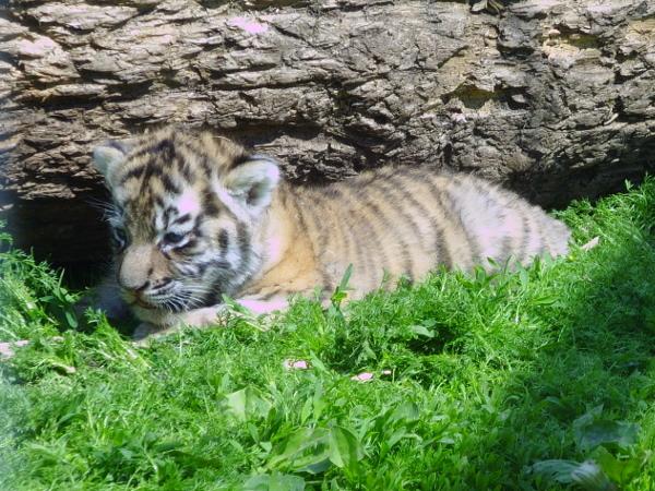 Конкурс «Имя для тигрёнка»