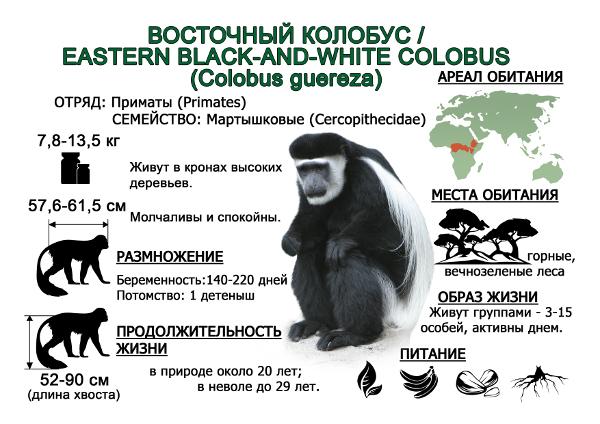 vostochnyj-kolobus1