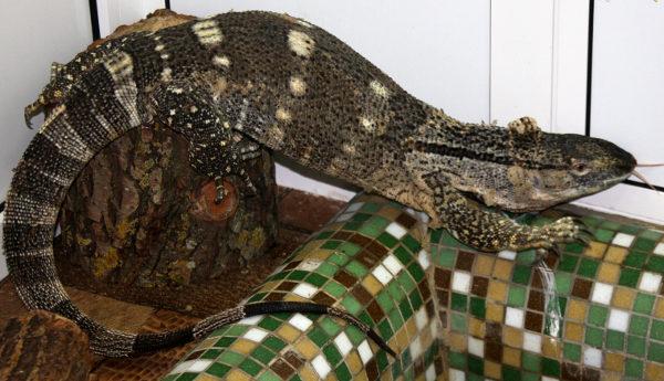 Таможня даёт добро: спасённые вараны переданы в Гродненский зоопарк (+ видео)
